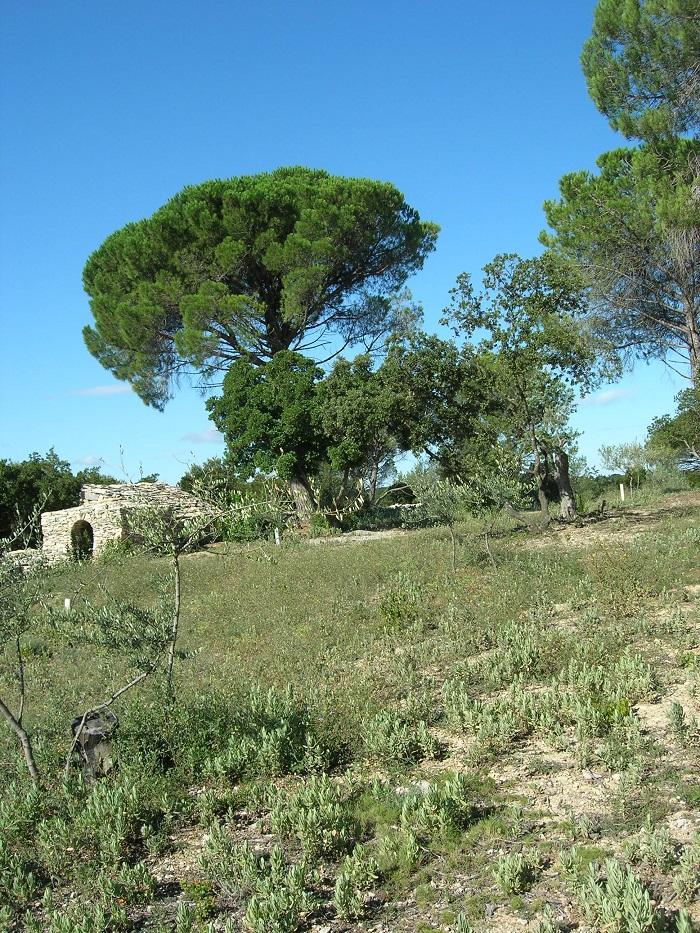 aout 2014 - vue ouest de l'olivette avec à gauche l'impluvium