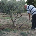 50 oliviers à entretenir