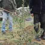 19 février : plantation d'un olivier Lucques de l'Hérault