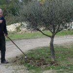 même en janvier, les oliviers demandent de l'entretien