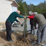plantation du cyprès de Florence